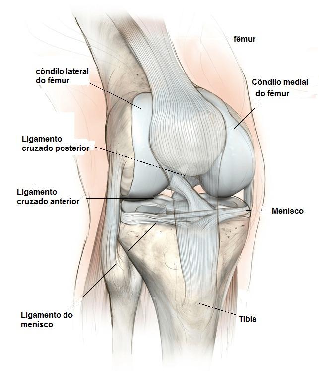 joelho anatomia, ligamento, colaterais, meniscos, osso e tendão, patela, côndilos, quadríceps, fêmur, tíbia, tíbia, ginásio cartilagem, esportes, jogadores de futebol, atletas, voleibol, basquete, tênis, ciclismo