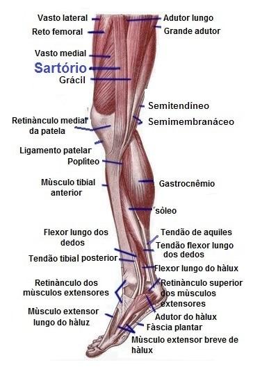 Anatomia,coza,joelho,sartorio,vasto medial,reto femoral