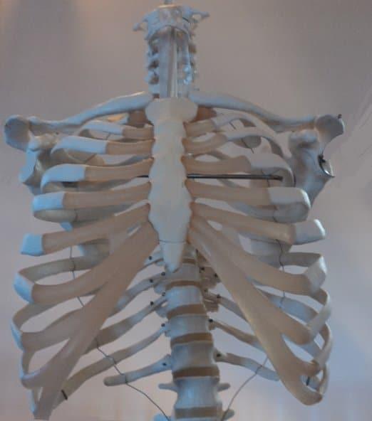 costelas, clavículas, coluna torácica, peito, costas, c escápula, anatomia, fisioterapia e reabilitação, cartilagens costais, articulações, ossos, músculos, nervos