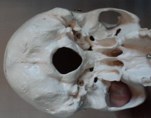 Forame magno, anatomia do crânio,vista de baixo, occipital, mandíbula