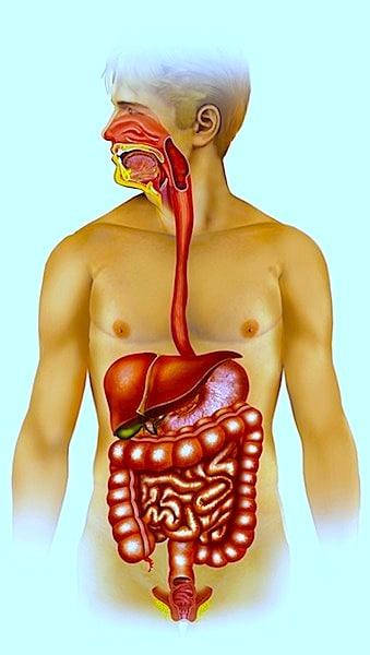 Acalasia, modelo anatômico do sistema digestivo humano