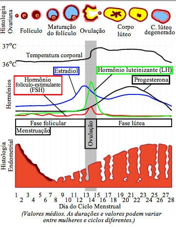 Ciclo menstrual,dias, ovulação, fase, menstruação