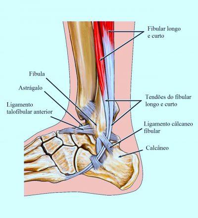 anatomia,ligamentos,tornozelo,pé,tendão,perone