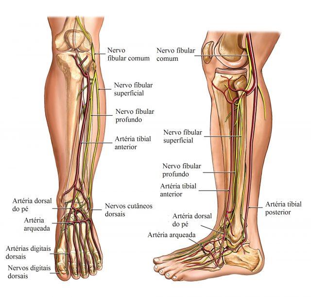 anatomia,perna,nervos,e,artérias