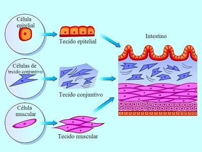 Intestino, composição,anatomia, doença de Crohn, vilosidades