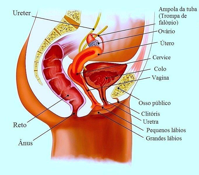 útero,retrovrtido,foto,anatomia, normal, útero,retrovertido