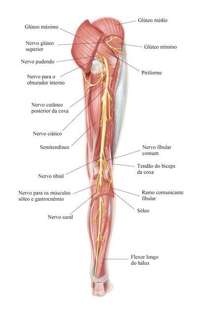 nervo,ciático,músculos,posterior,coxa