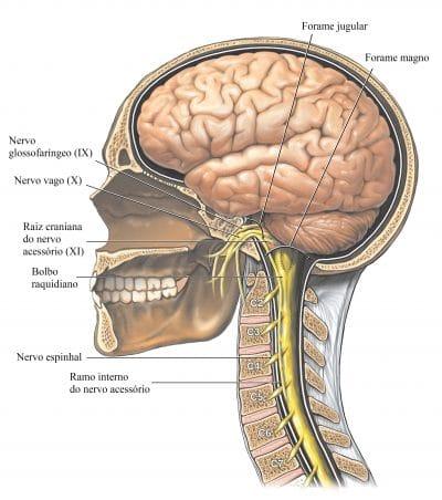 cérebro-nervo-vago