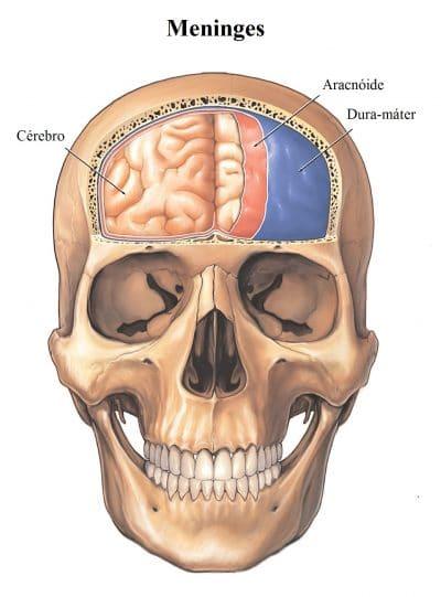 meninges,crânio