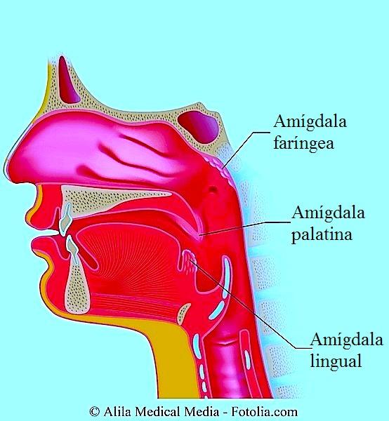 Amígdalas,placas, língua, palato, faringe