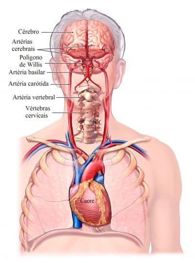 artérias,carótidas,vertebrais,e,cerebrais