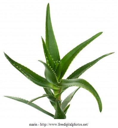 aloe vera, planta, peso, uso, acne,rosto limpeza de pele,
