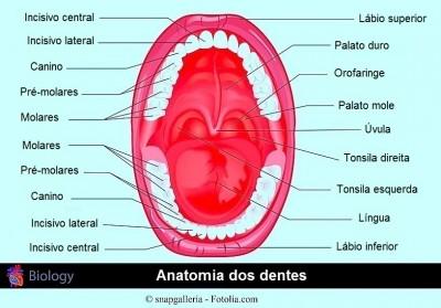Dentes permanentes, dentição