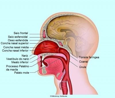 Dor no nariz, anatomia, seios, conchas nasais, garganta, boca