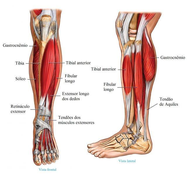 anatomia,perna,músculos,tendões
