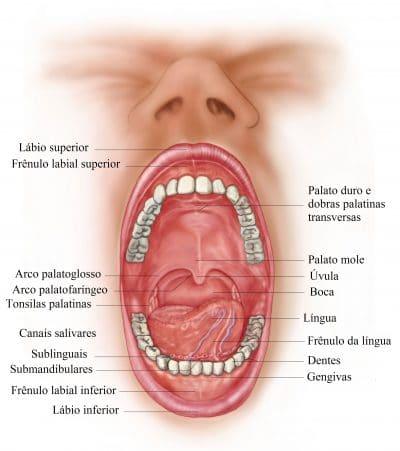 dentes,palato,língua