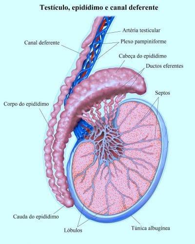 epidídimo,testículo,e,canal,deferente