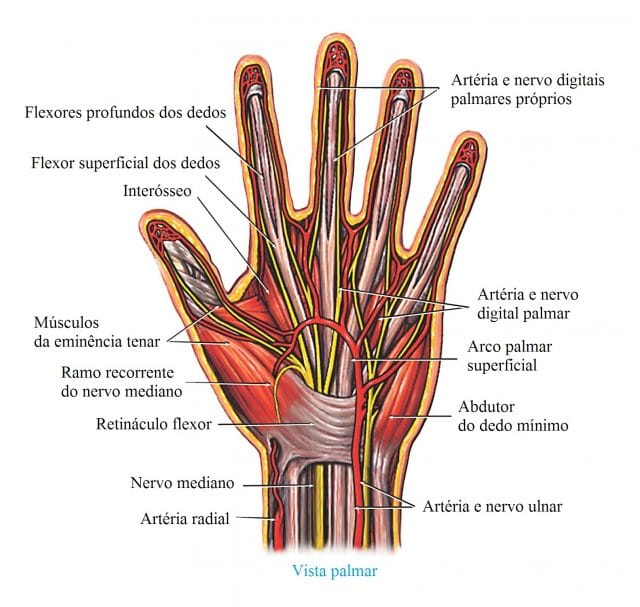 flexor,abductor,arteria,ulnar,radial