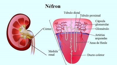 nefron,cortex,medula renal,tubulo,ansa de henle,ducto coletor