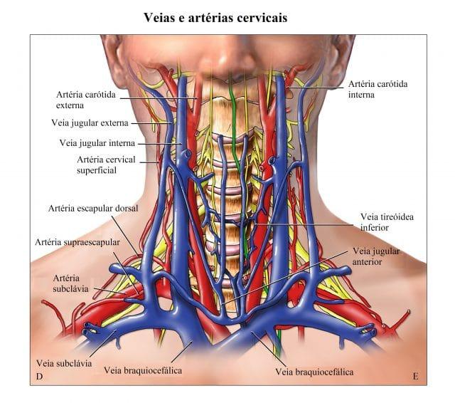 veias e artérias,cervicais