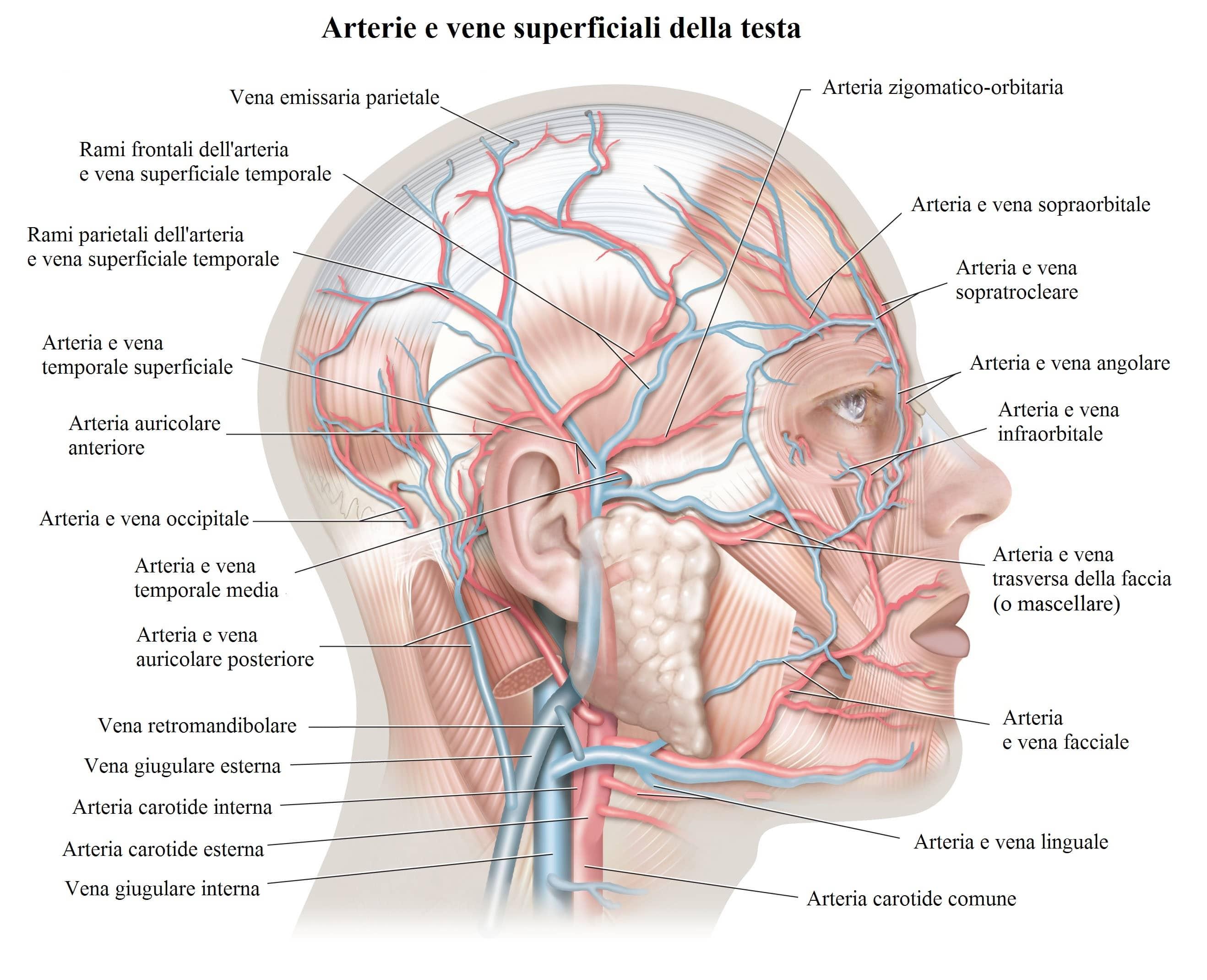 artéria,temporal,veia,occipital,cara