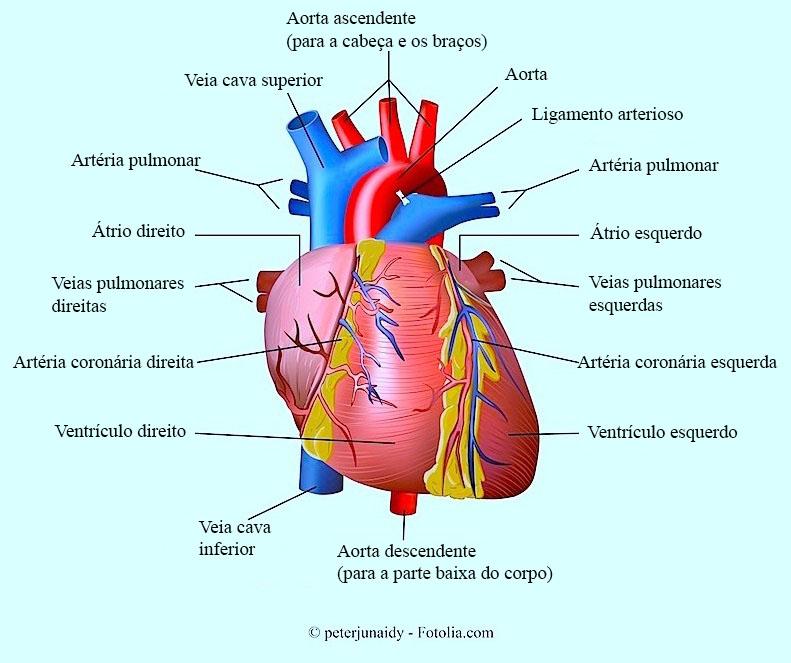 Coração, aorta, coronária, ventrículo
