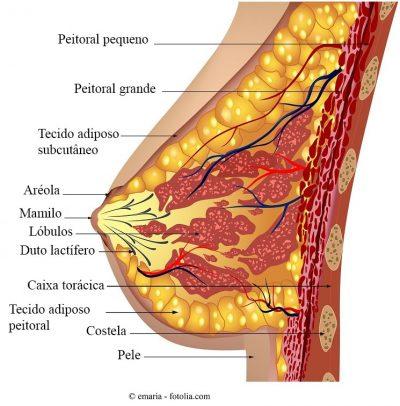 Mama, anatomia