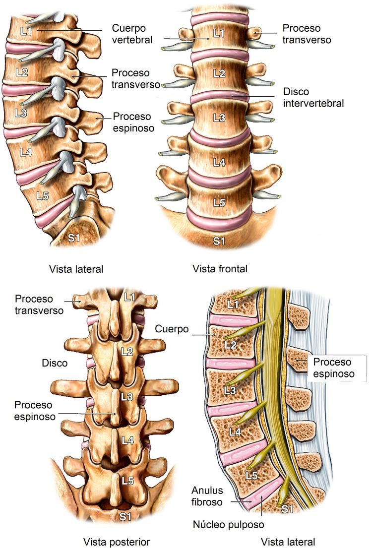 Anatomía de la columna vertebral, lumbar, cervical y dorsal, imagenes