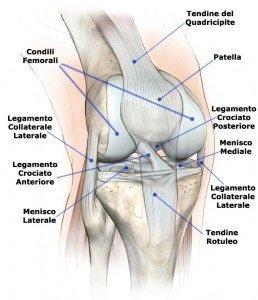 anatomia ginocchio, crociati, collaterali, menischi, ossa e tendini, rotuleo, condili, quadricipitale, femore, tibia, piatto tibiale, cartilagine, sportivi, palestra, calciatori, atleti, pallavolo, basket, tennis, ciclismo