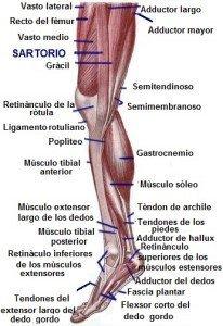 anatomía músculos, mediales, interiores, muslo, abductor, pantorrilla, gastrocnemio, soleo, tibial posterior, achille, deportivo, gimnasio, futbolistas, atletas, voleibol, basket, tenis, ciclismo.
