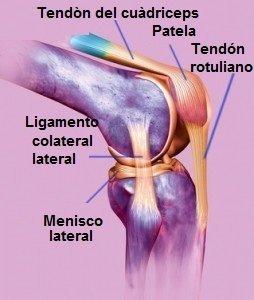 anatomía, rodilla, cruzado, colateral, meniscos, huesos y tendones, rotuliano