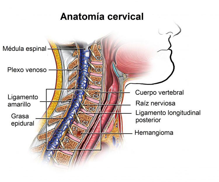 Lujo Anatomía De Disco Cervical Elaboración - Anatomía de Las ...