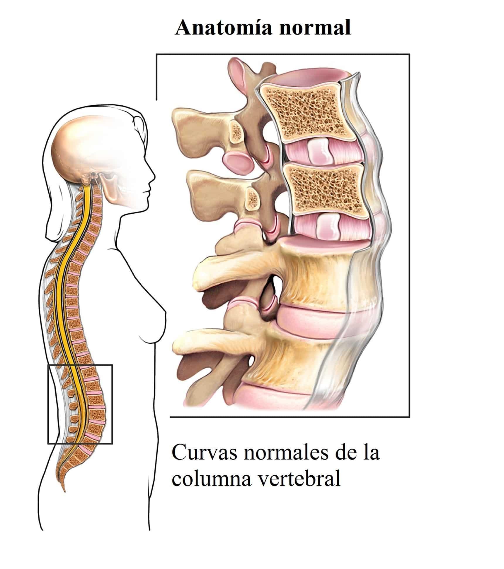Dorable La Anatomía De La Columna Vertebral Modelo - Anatomía de Las ...