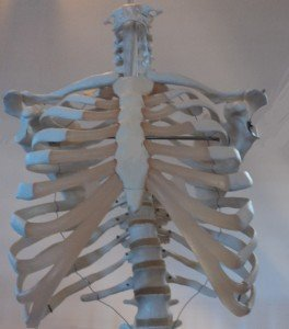 costillas, clavículas, columna torácica, el pecho, la espalda, la clavícula, la escápula, la anatomía, la fisioterapia y la rehabilitación, cartílagos costales, las articulaciones, los huesos, los músculos, los nervios