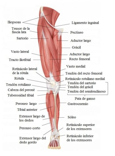 pierna, musculos