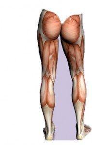 anatomía músculos, elevador del ano, posterior, cocsia, semimembranoso