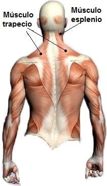Anatomía, posterior, espalda, lumbar, trapecio, escápula, conectivo, toracolumbar