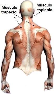 anatomía, atrás, atrás, atrás, trapzeio, escápula, conectivo, toraco lumbar, la manipulación, el masaje, la inflamación, la tendinitis, lesión, dolor, dolor, fisioterapia y rehabilitación