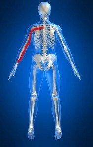 Anatomía cuerpo, brazo, miembro superior, nervio, músculo, fisioterapia