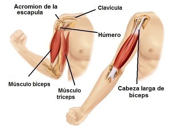 Anatomía, hombro, bíceps, húmero, escápula, clavícula, tríceps