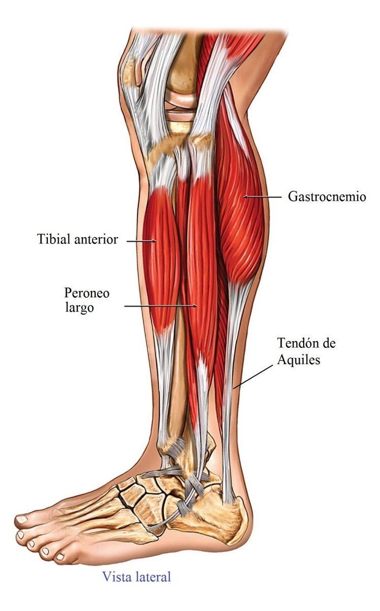anatomia de pie y pantorrilla