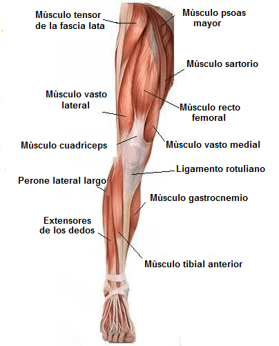cuádriceps,músculo, rotura, lesión