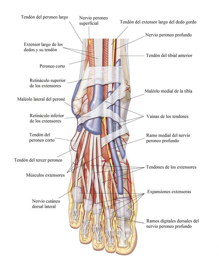 Metatarsalgia o dolor de los metatarsos, pie, causas, de Morton