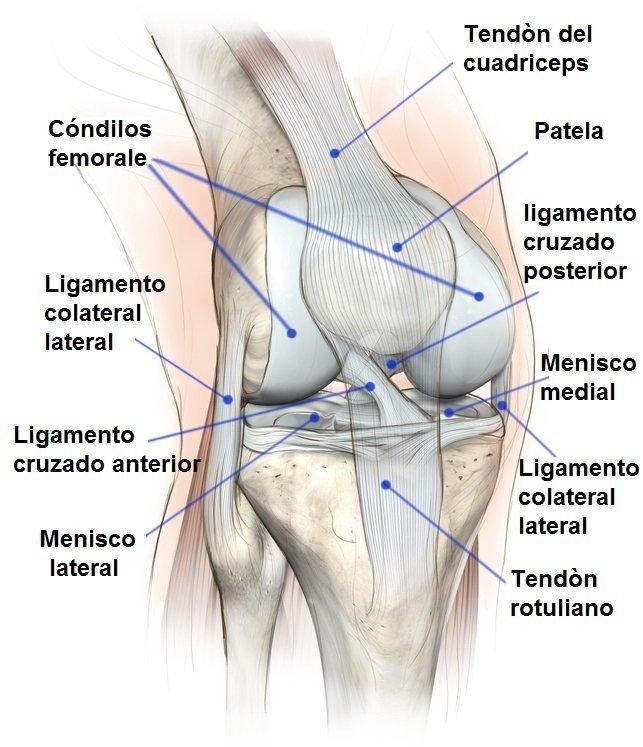 Rodilla tendones ligamentos huesos