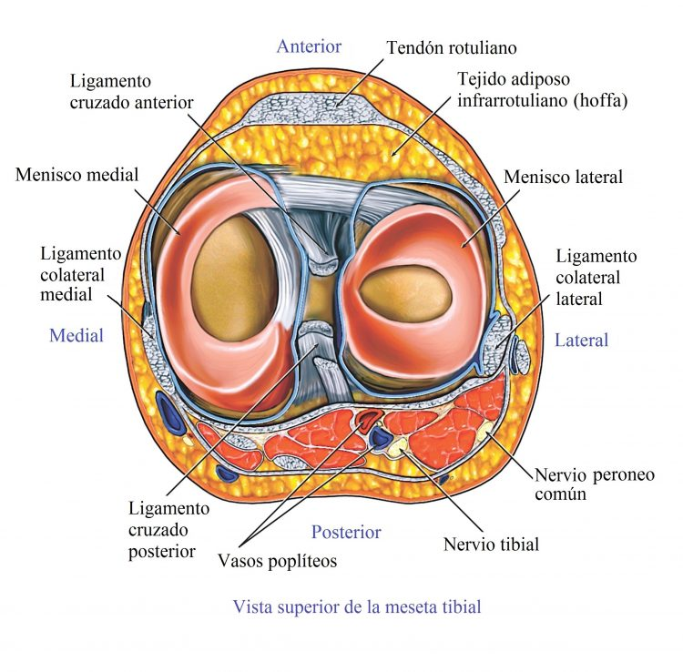 Moderno Anatomía Ligamento Cruzado Ilustración - Imágenes de ...