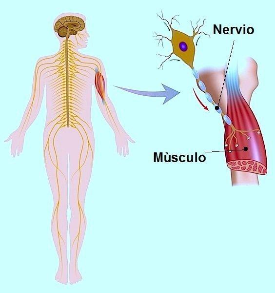 calambres, nervio, dolor, músculo, daño, impulso, contracción