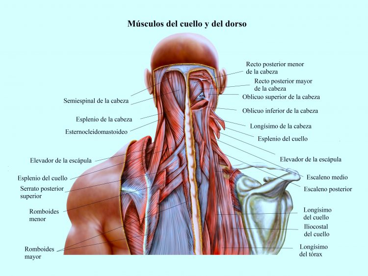 musculos del cuello y del dorso