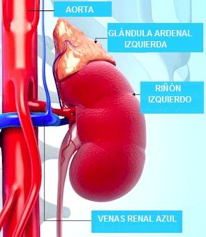 cortisolo, suprarrenal, renios, cortisona, hormona, adth, inflamación, cortisonici, steroid