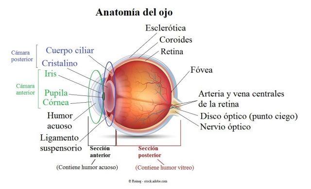 anatomía,ojo,anterior,posterior,humor acuoso