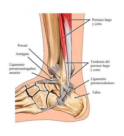 tendones y ligamentos del pie